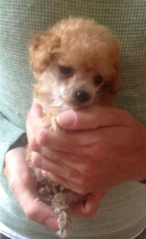tiny teacup poodle puppies for sale tiny teacup poodle puppies for sale grantham lincolnshire pets4homes