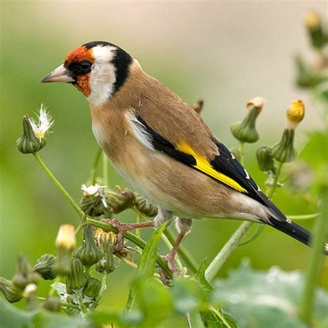 goldfinch popular british birds gardenbird co uk