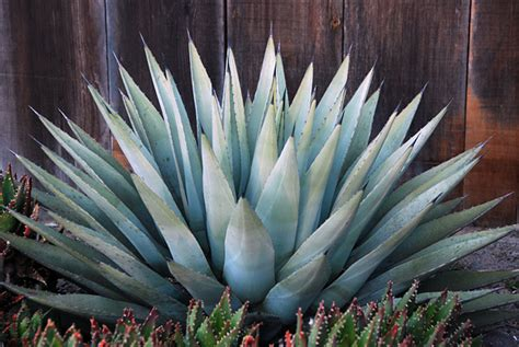 agave havardiana quot big bend century plant quot buy online at annie s annuals