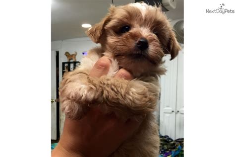 morkie puppies for sale in nj morkie yorktese puppy for sale near central nj new jersey 1b7b7487 9471