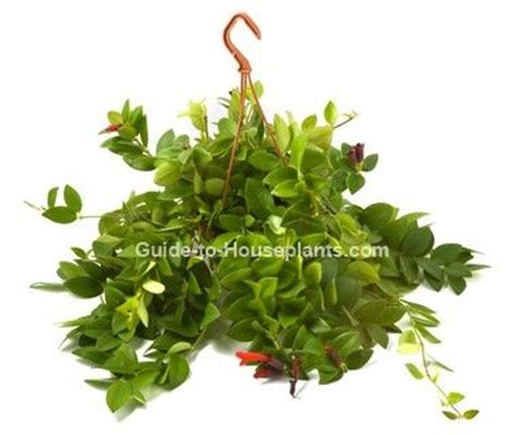 trailing hanging basket foliage plants 25 best ideas about lipstick plant on zone 4