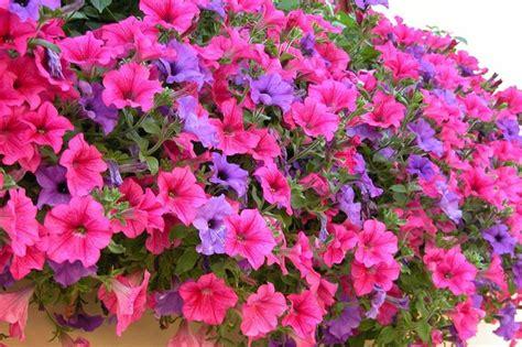 fiore surfinia surfinie domande e risposte giardino surfinie l