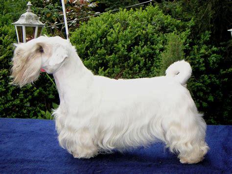 Sealyham  Ee  Terrier Ee   La Enciclopedia Libre