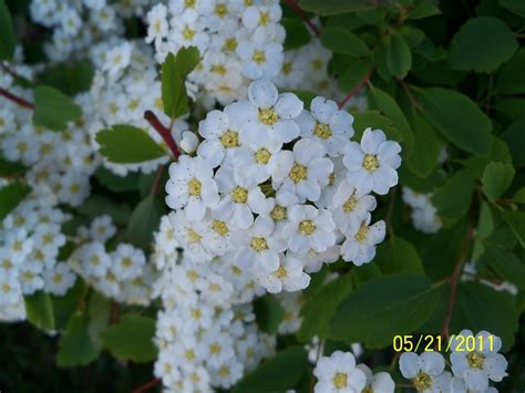flowers photo tiny white flowers in bloom light tiny white flowers on a bush by creepyfeet on deviantart