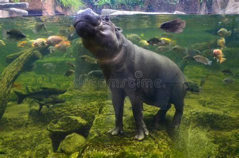 Hippo Nave hippo pygmy nijlpaard onder water stock afbeelding