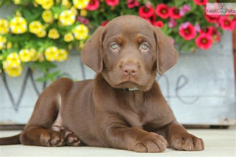 chocolate lab puppies for sale near me labrador retriever puppy for sale near lancaster pennsylvania 343b8a69 2d71