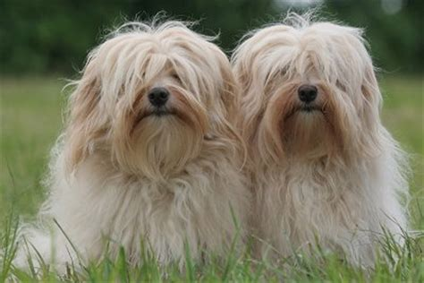 havanese housebreaking problems obedience for your and you breeds picture