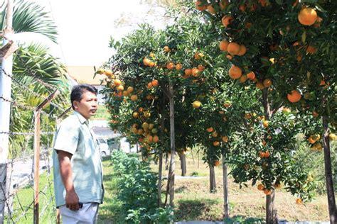 Benihbibitbiji Buah Jeruk Ponkam kebun jeruk keprok aneka jeruk keprok