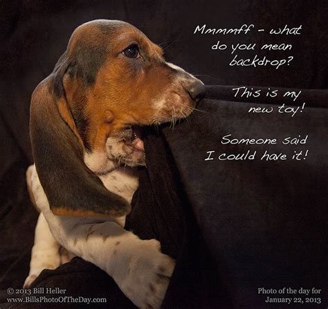 basset hound puppy rescue puppy teething on a photography backdrop basset hound puppy at daphneyland basset