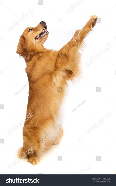 golden retriever legs give out a golden retriever standing on his hind legs stock