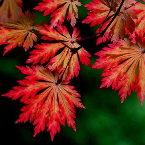 acer japonicum aconitifolium moon maple