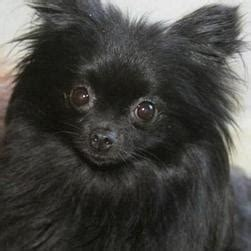 pomeranian breeder san jose chihuahua pomeranian mix pomchi puppies black puppy hd breeds picture