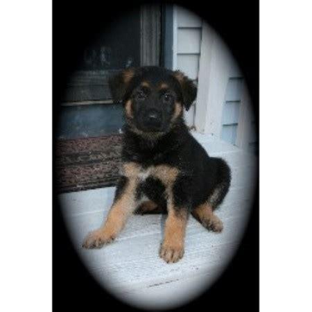 german shepherd puppies ct for sale hauses vitale german shepherd breeder in connecticut listing id