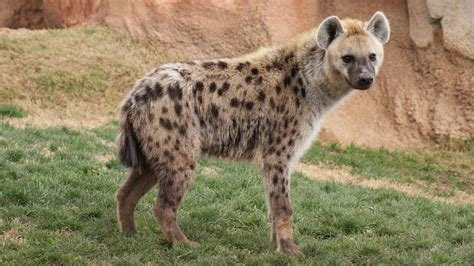 images of hyenas spotted hyena