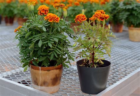 grow marigold  seed   pot plant talk