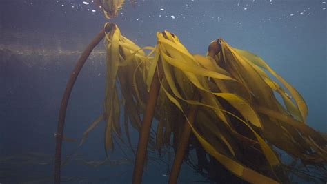 Amazing Energy Conservation Facts #10: Bull-kelp.jpg?bc=white