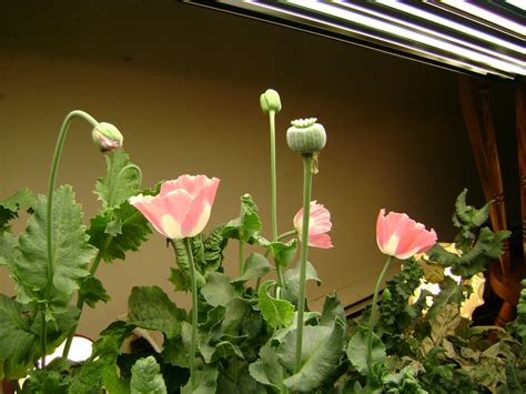 hydroponic poppies grow log page  poppies opium