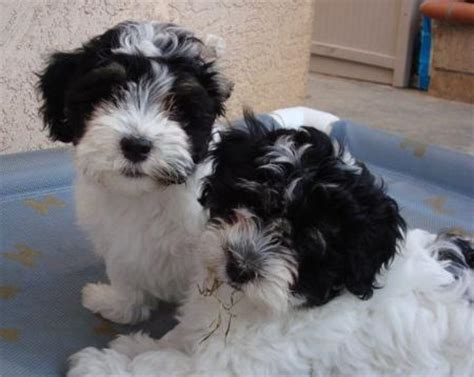 ohana havanese havanese dogs puppies by ohana havanese breeder in corona california past puppies