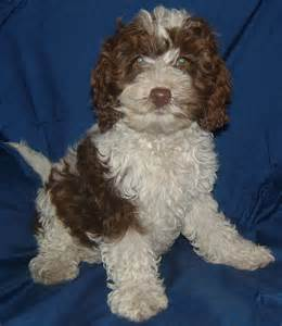 Pictures of spoodle puppies
