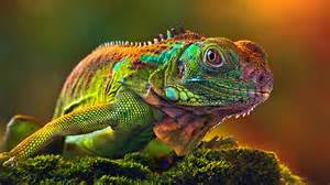 lizards that change colors wallpaper hd camaleon some lizards change color