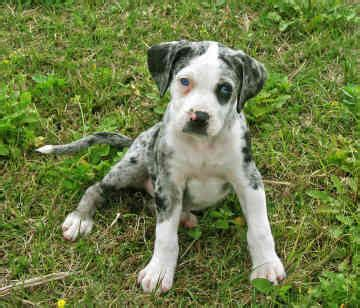 catahoula hound puppies follow the piper catahoula leopard dogs