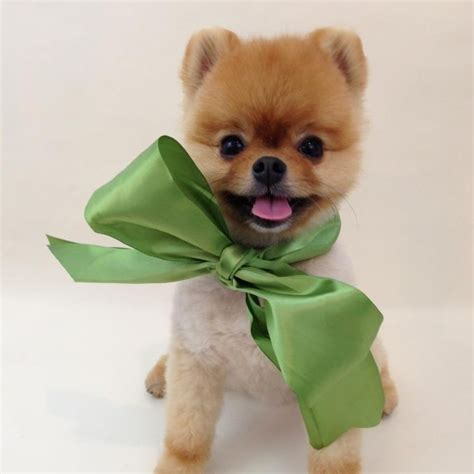 jif pomeranian jiff the pomeranian is definitely the most talented there was