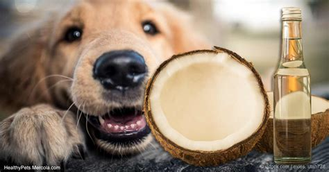 coconut and dogs coconut for s skin and health