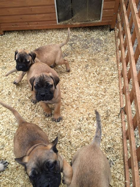 bullmastiff puppies for sale bullmastiff puppies for sale birmingham west midlands pets4homes
