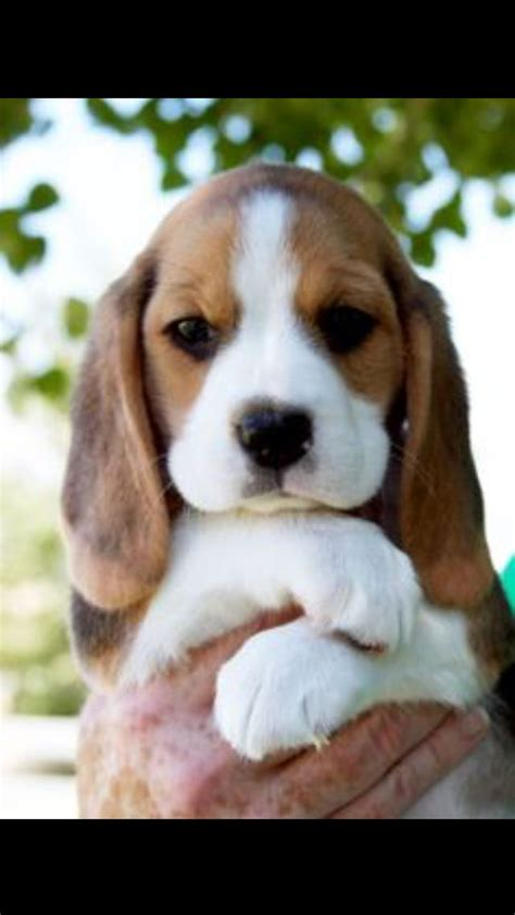 teacup beagle puppies 25 best ideas about teacup puppies on teacup dogs cutest small dogs and