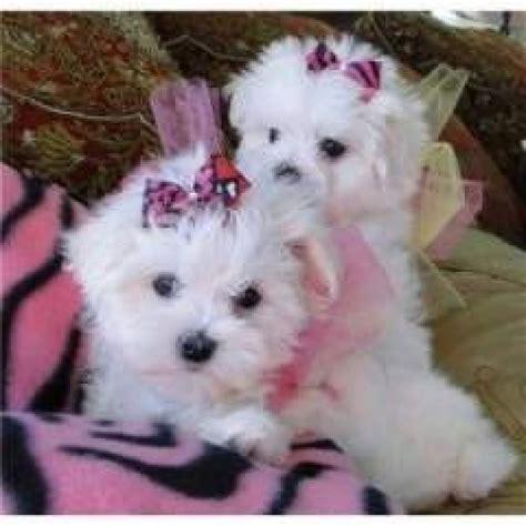 maltese dogs for adoption registered maltese pups for adoption offer