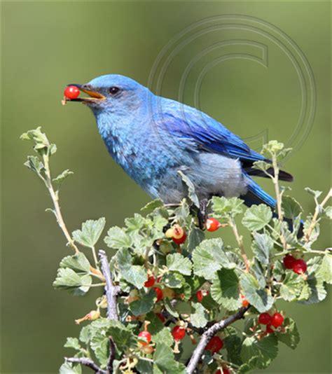 nature niche photos by laure wilson neish bluebirds