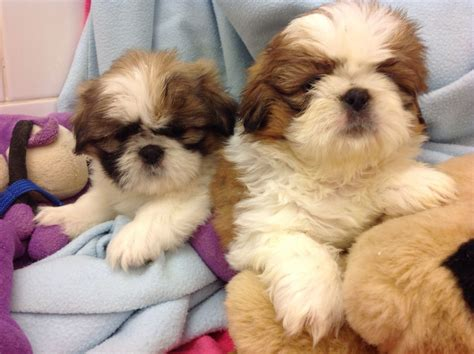 shih tzu puppies for sale in scotland shih tzu puppies outstanding mbs scotland cumnock ayrshire pets4homes