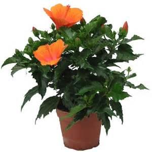 hibiscus orange plantes et jardins
