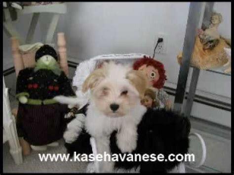 kase havanese kase havanese quality havanese puppies in carolina