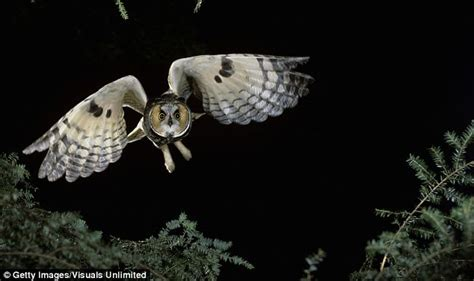 Barn Owl Noise The End Of Noisy Planes Owls Could Hold The Key To