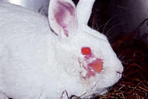Q And A 06 rabbit medicine and surgery q a 06 wikivet
