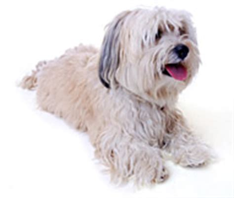 havanese weight range havanese breed facts and personality traits hill s pet