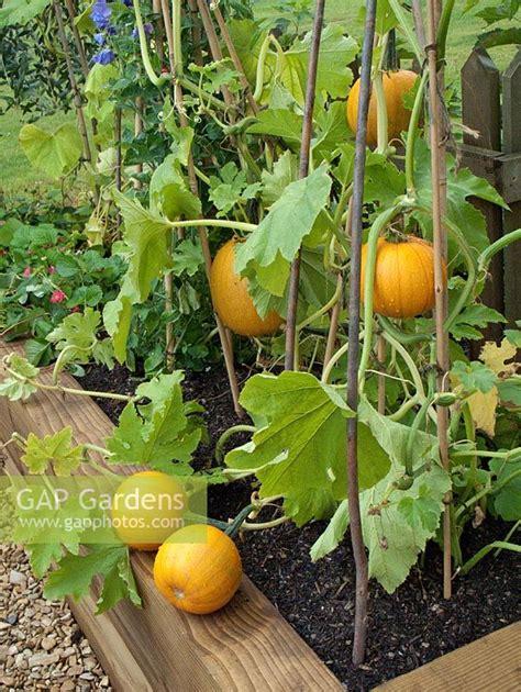 gap gardens cucurbita pumpkins growing  raised bed