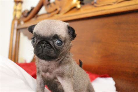micro pugs for sale teacup