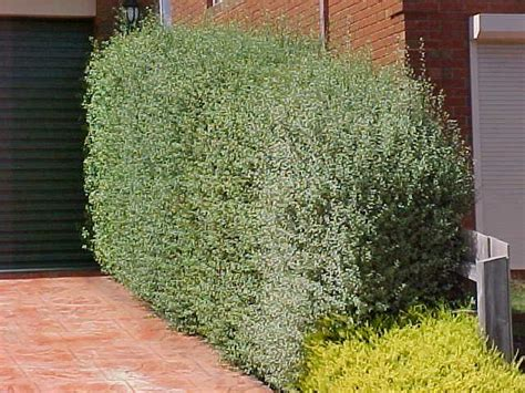 silver sterling pittosporum   plants garden