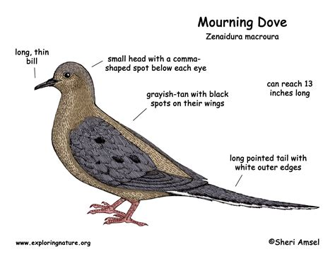 what color is dove mourning dove