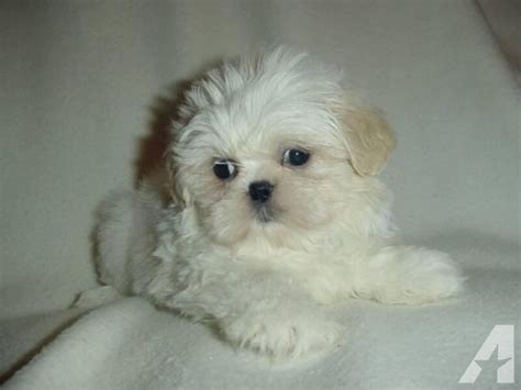 and white shih tzu puppies and white shih tzu puppy ready now for sale in alpha new jersey classified