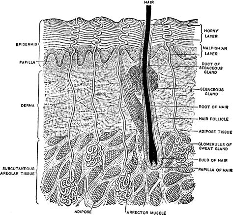 Vertical Section Of Human Skin by Vertical Section Of The Skin Clipart Etc