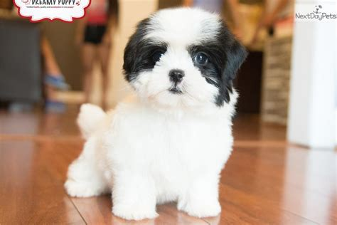 malti pom puppies for sale malti pom maltipom puppy for sale near washington dc 0764ceed ed01