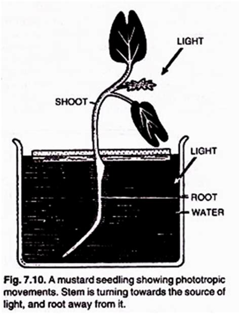 tropic movements in plants tropic movements in plants 6 types with diagram