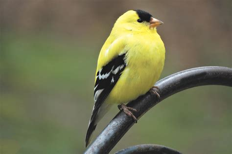 american goldfinch songbird feeds young a diet of seeds