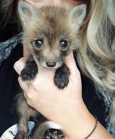 meet juniper the pet fox who s basically an orange