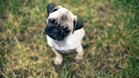 free pugs free desktop pug wallpapers pixelstalk net