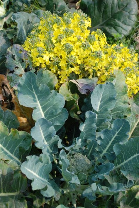 broccoli flower broccoli world crops database