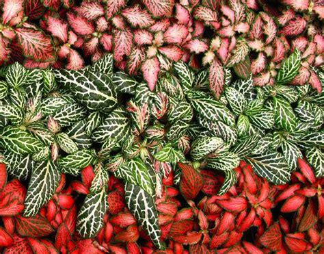 fittonia verschaffeltii fitonia plantas pinterest